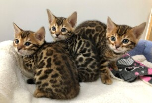 Cute-bengal-kittens-for-sale