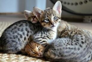 Lovely-savannah-kittens-for-sale