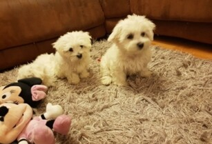 Awesome-male-and-female-maltese-puppies-available