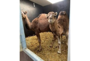 Camels-for-sale-whatsapp-27734531381