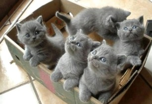 British-shorthair-kittens-for-sale