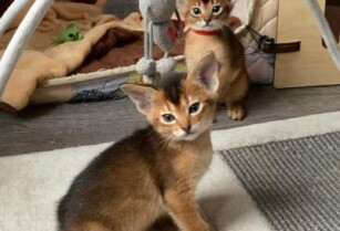 Abyssinian-kittens-ready-for-sale