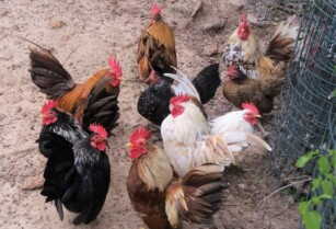 Chickens-for-sale-whatsapp-27734531381