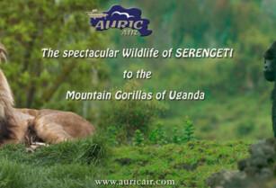 From the Spectacular Wildlife of Serengeti to The Mountain Gorillas of Uganda
