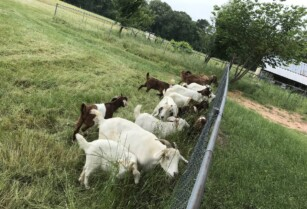 Dairy-beef-goats-for-sale-whatsapp-27734531381