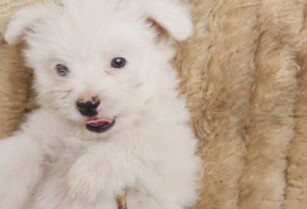 Lhaso-apso-pups