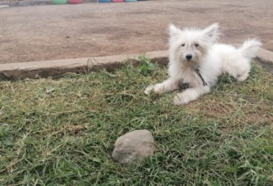 Maltese-dog-for-sell