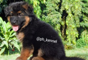 Pure-german-shepherd-available-for-sale