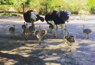 Ostrich-chicks-fertile-eggs-for-sale-whatsapp-27734531381