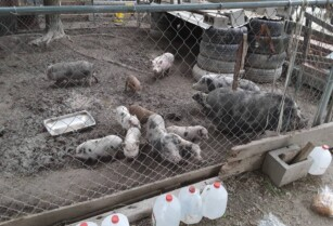 Pigs-and-piglets-for-sale-whatsapp-27734531381