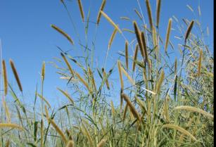 Looking-for-napier-grass-elephant-grass