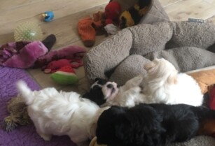 Super-adorable-havanese-puppies-for-sale | Tanzania Mailing