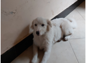 BOERBOELS AND MALTESE PUPPIES LOOKING FOR A NEW HOME