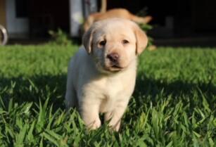 English labrador pups for sale Arusha